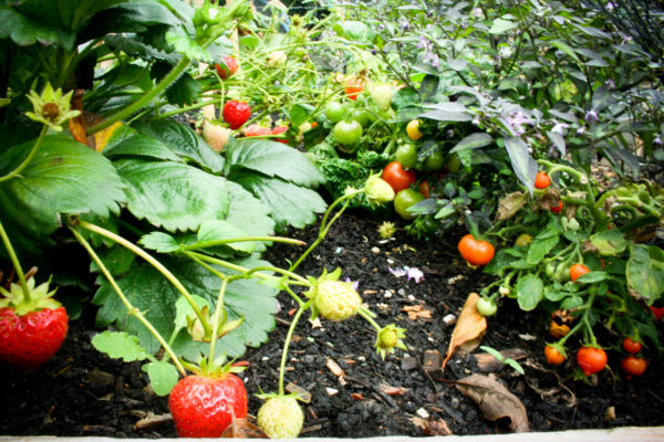 patch of strawberries