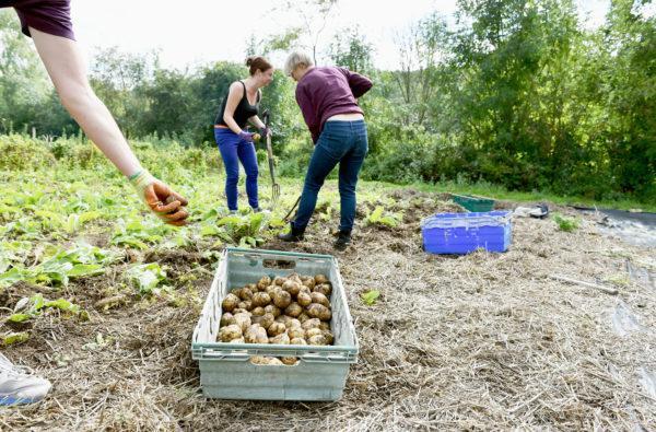 people digging potatoes