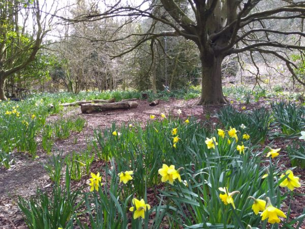 Quiet Garden at Stanmer daffodils